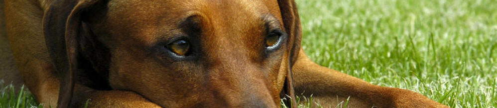 The Rhodesian Ridgeback Welfare Trust